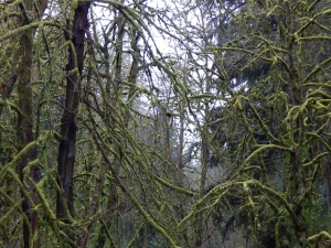 I have never seen fluorescent looking moss on trees before.  I don't know what kind of trees these are but they were everywhere in Oregon.