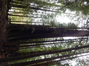 I had a hard time taking a good picture of the Redwoods because they are just too tall to fit into frame.